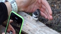 A closeup of a hand holding a green iPhone taking a photo of a small bird a foot away, standing on a piece of wood.