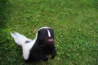 A skunk standing on its hind legs, looking at the camera curiously