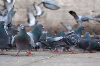 A flock of pigeons on a city sidewalk