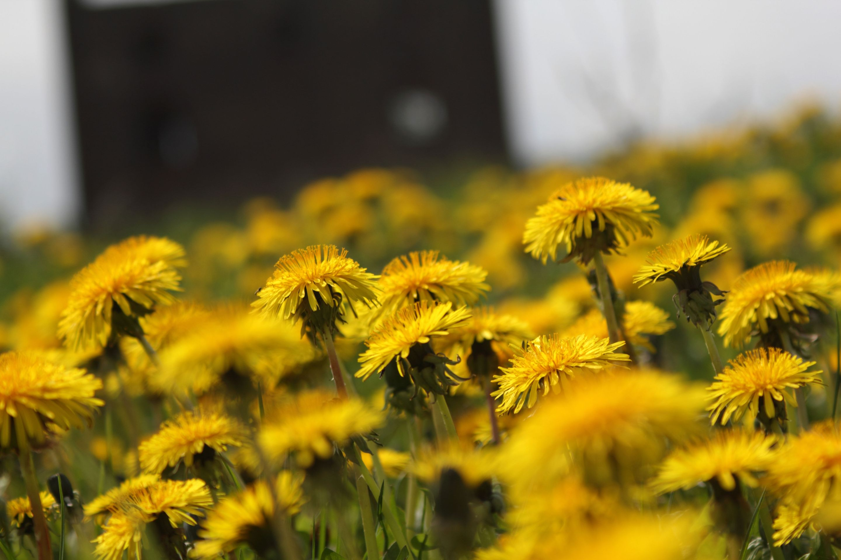 the lessons of the dandelion edutopia