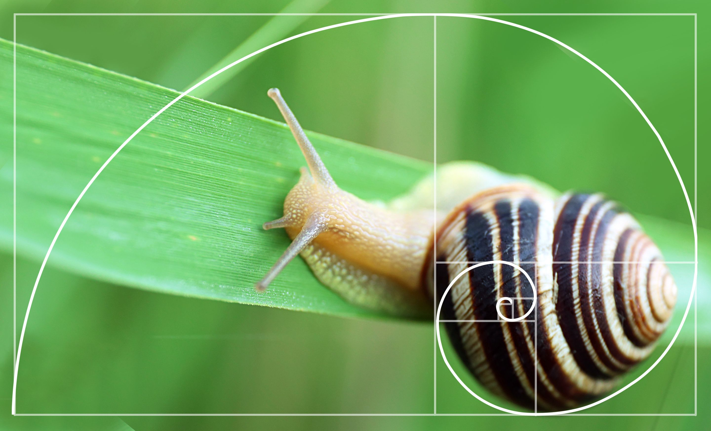 A composite photo of a snail slithering on a blade of grass with the Fibonacci sequence overlaid on its shell