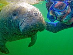 Writing Around the World:  A 2009 snorkling trip in Florida's Crystal River brings Lourie face-to-face with an endangered manatee.