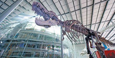 Fossils Fuel Imagination: T Rex towers over the exhibits of the Kimball Natural History Museum, where the evolution and sustainability of life on Earth are the focus.
