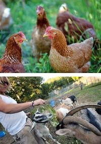Creatures Big and Small:  The Great Kids Farm now raises chickens for fertilizer (and the occasional egg), along with goats to munch the grass. Volunteer Doug Robinson helps feed the herd.