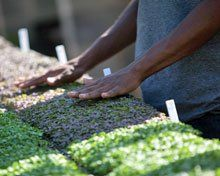 Food for Thought:  Kareem Adams runs his hands over flats of baby greens grown in one of the farm's greenhouses.