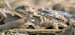 Keeping Track: A lizard carries a radio transmitter on its back.