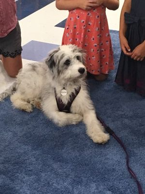 Boomer, a white and gray aussiedoodle, sits with children in a classroom