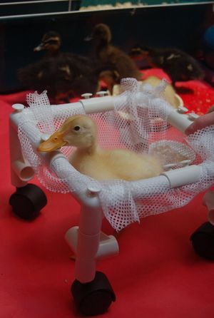 A duckling with a deformed leg.